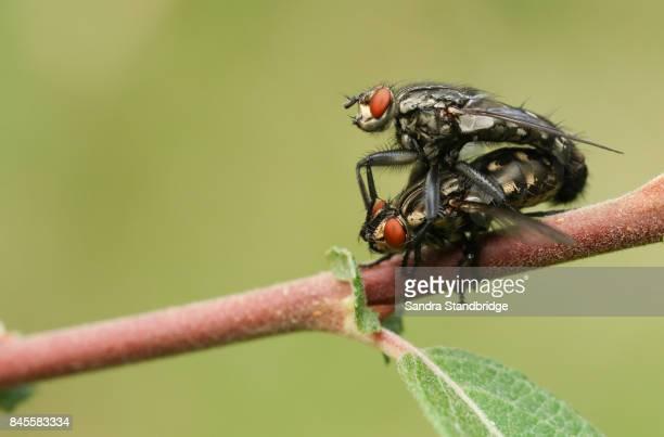 A mating pair of Flesh Fly (Sarcophaga).