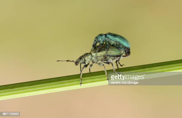 a mating pair of green weevil (polydrusus). - coleottero foto e immagini stock