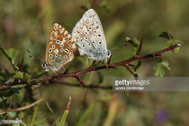 A mating pair of pretty Chalk Hill Blue Butterfly (Polyommatus coridon) perching on a branch.