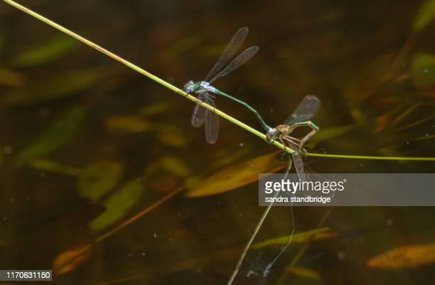 a mating pair of pretty emerald damselfly (lestes sponsa) laying eggs in a boggy pool. - sponsa stock photos and pictures