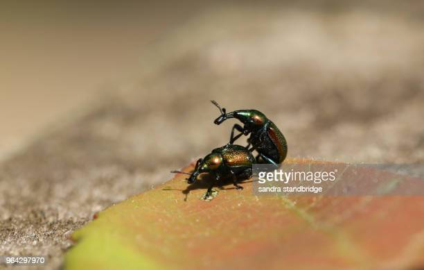 a mating pair of pretty leaf rolling weevil (byctiscus populi) perching on a leaf. - tierpaarung stock-fotos und bilder