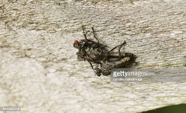 a mating pair of robber fly (machimus cingulatus) one of which is also feeding on its prey another fly. - hertford hertfordshire stock pictures, royalty-free photos & images