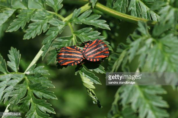 a mating pair of striped shield bug, graphosoma lineatum, resting on a  poisonous hemlock plant, conium maculatum, in springtime in the uk. - poison hemlock stock pictures, royalty-free photos & images