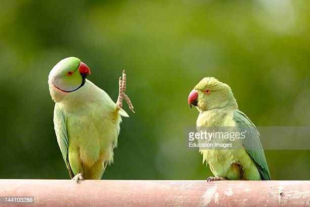 Mating Ritual Of RoseRinged Parakeets Psittacula Krameri Ranthambore Tiger Reserve National Park Rajasthan India