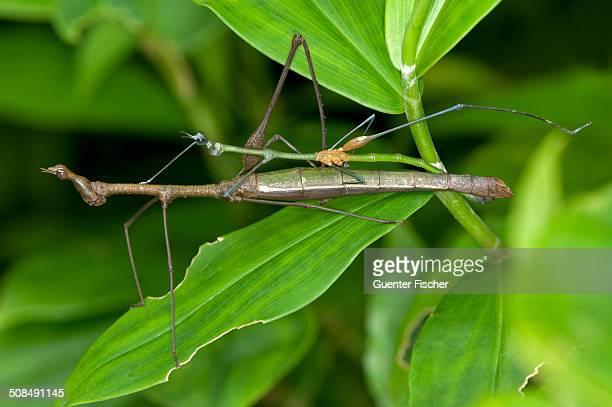 mating stick grasshoppers -taxiarchus spec.-, exhibiting sexual dimorphism, mating, tiputini rain forest, yasuni national park, ecuador - accoppiamento animale foto e immagini stock