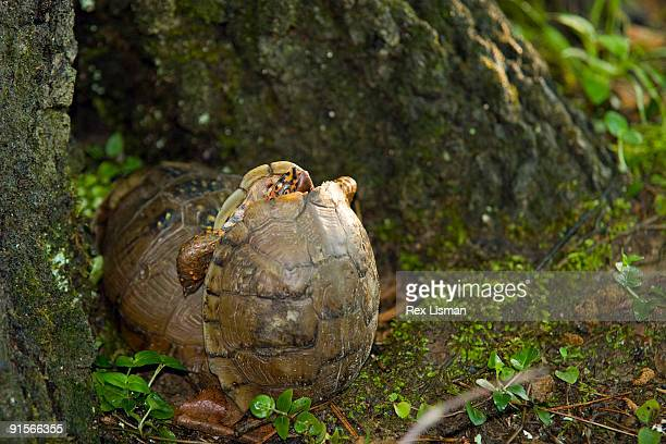 mating three toed box turtles - box turtle stock photos and pictures