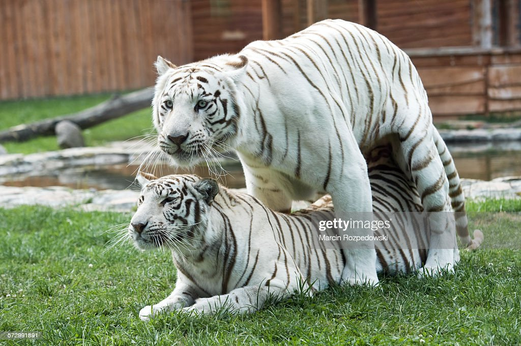 Mating White Bengal Tigers In Captivity Stock Photo Getty Images