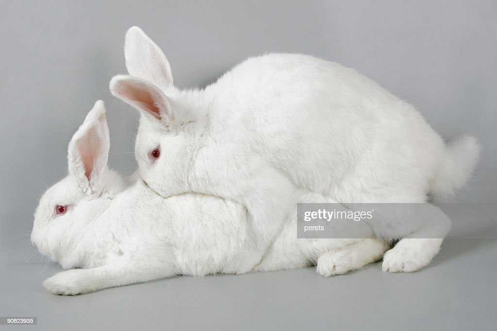 Mating white rabbits : Stock Photo