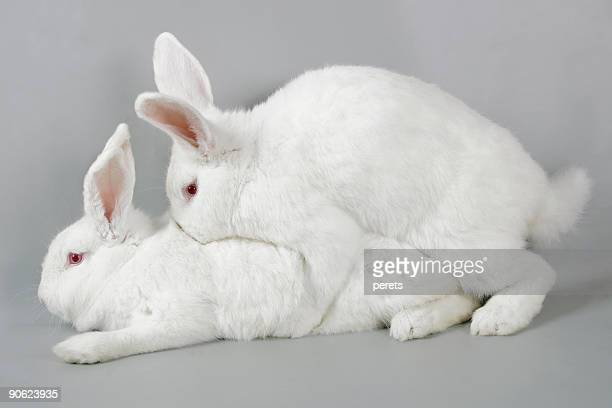 mating white rabbits - easter photos stock pictures, royalty-free photos & images