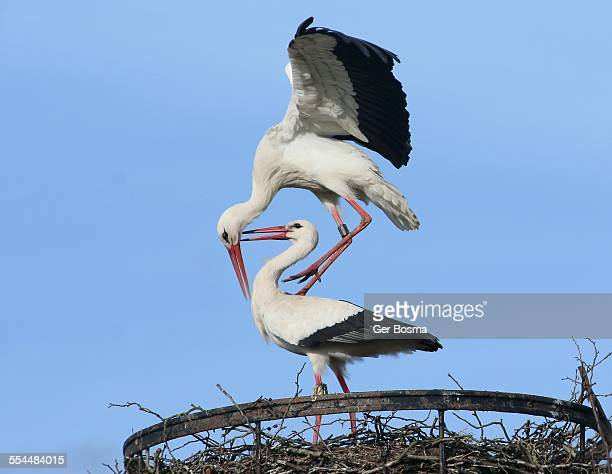 Mating White Storks