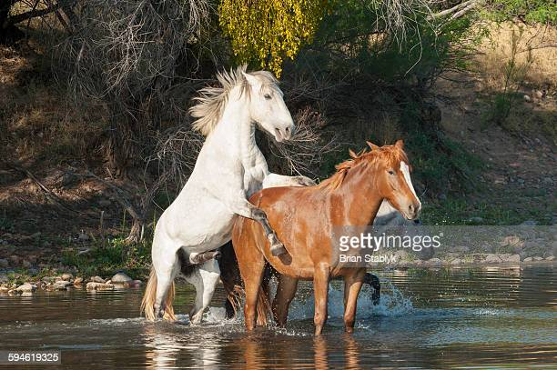 mating wild horses in water - accouplement cheval photos et images de collection