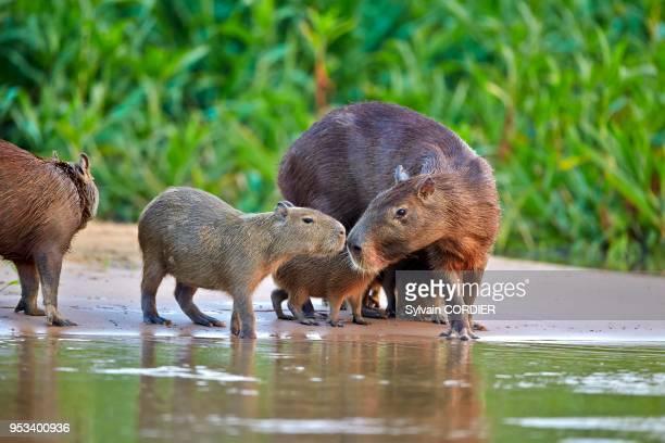Mato Grosso, Pantanal, Sud de Cuiaba, le capybara ou cabiaï .