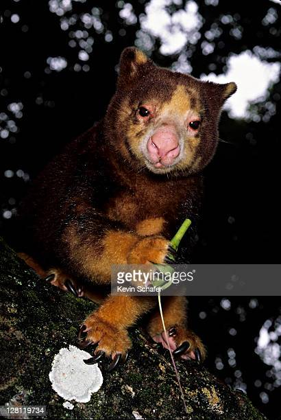 Matschie's Tree Kangaroo (Dendrolagus matschiei). Endangered. Huon Peninsula, Papua New Guinea.