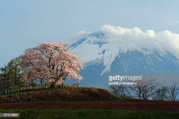 matsuo cherry tree and mt.iwate - 八幡平市 ストックフォトと画像