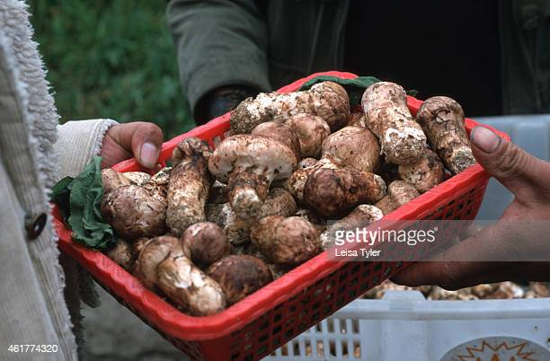 Matsutake merchant sorts through one villager's harvest in the mountains above Zhongdian in northern Yunnan. Prized by Japanese food lovers, when...