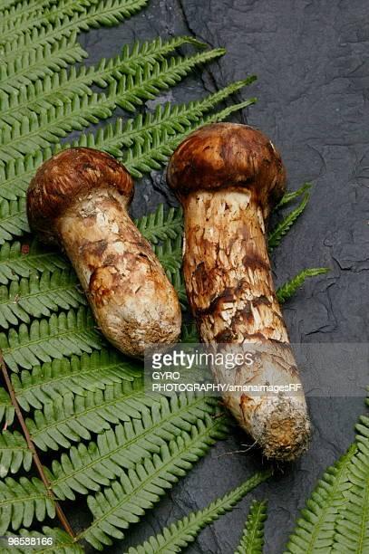 Matsutake mushrooms and a fern lying on a rock