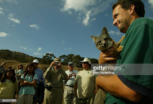 Matt Christianson a wildlife biologist in charge of captive breeding on Catalina Island holds Tachi an island fox who imprinted on humans and could...