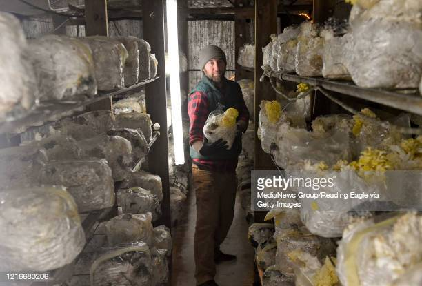 Matt Sicher, co-owner of Primordia Mushrooms with some of the Yellow Oyster mushrooms at Primorida Mushroom farm in Lenhartsville, PA Tuesday...