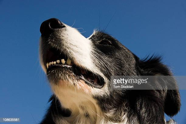 Mattis a 12 year old border collie sniffs the air on Namdo one of the islands which make up the Stockholm Archipelago Sweden The collie is owned by...