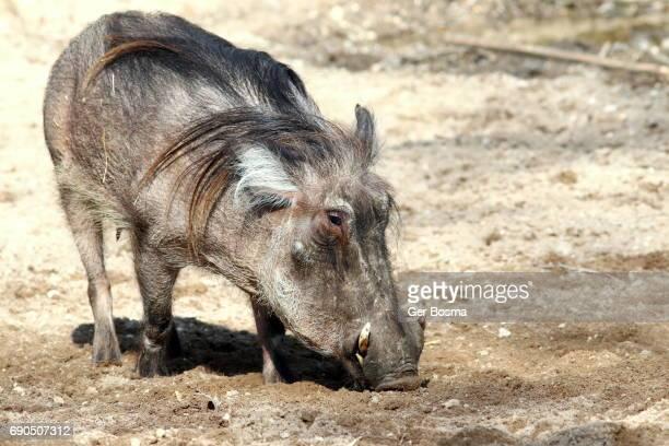 mature african warthog - facocero foto e immagini stock