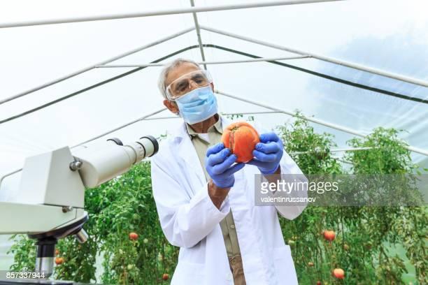 Reife Agronom beobachten Gemüse im Gewächshaus