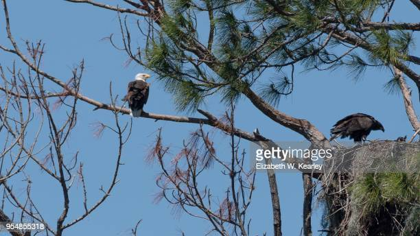 mature and juvenile eagles with nest - eagle nest stock photos and pictures