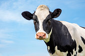 Mature black and white cow head, gentle look, pink nose, in front of  a blue sky.