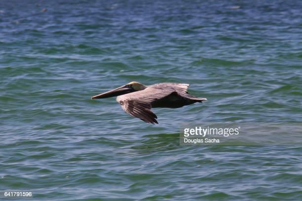 Mature Brown pelican in flight (Pelecanus occidentalis)