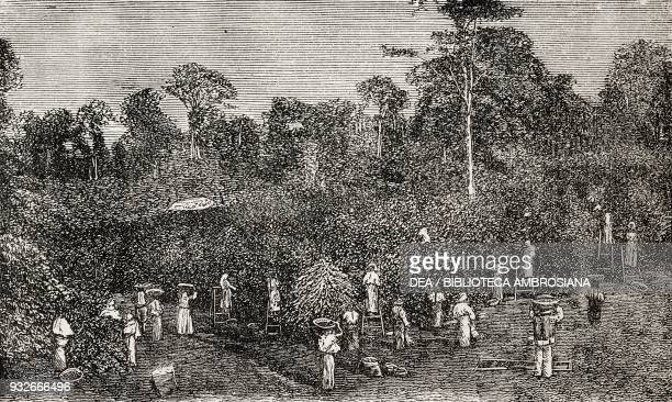 Mature coffee beans coffee harvesting in Guatemala illustration from the weekly Rivista Illustrata No 251 October 21 1883