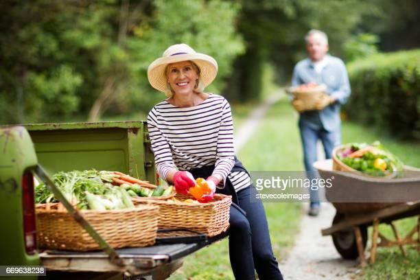 Mature Couple Harvesting Vegetables In Garden.