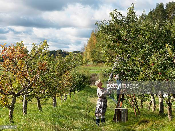 mature couple picking apples - orchard stockfoto's en -beelden