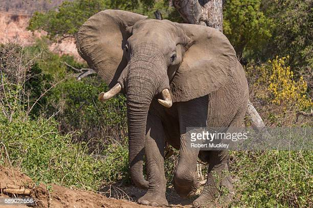 Mature Elephant Charge
