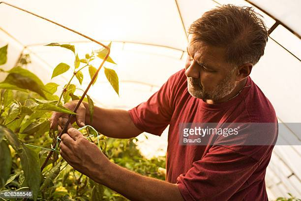 Mature farm worker tying the plants in a greenhouse.