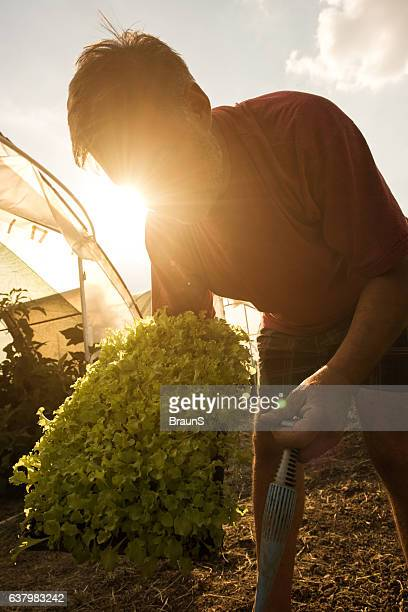 Mature farm worker with fresh lettuce on a field.