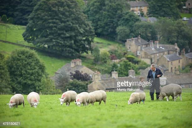 mature farmer and grandson feeding sheep in field - ヨークシャー ストックフォトと画像
