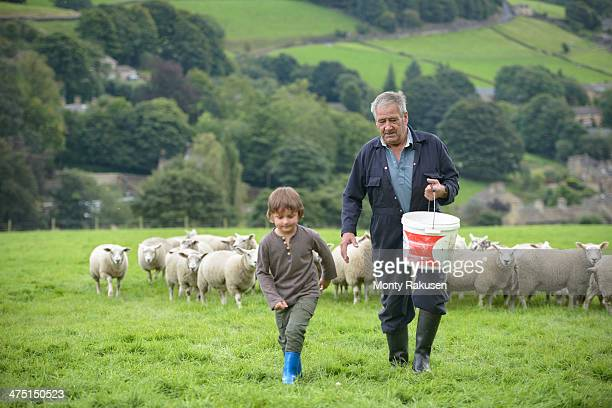 Mature farmer and grandson feeding sheep in field