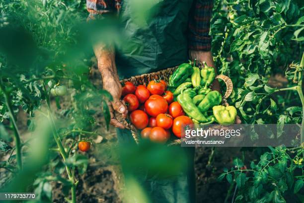 mature farmer carrying vegetables in basket - farm worker stock pictures, royalty-free photos & images