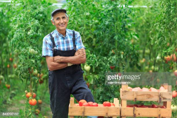 mature farmer collecting tomatoes - farm worker stock pictures, royalty-free photos & images
