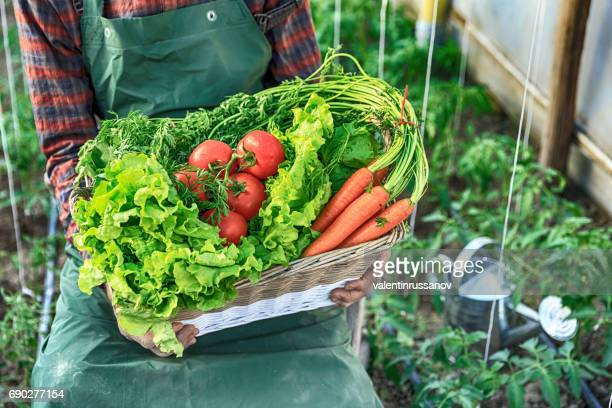mature farmer holding a basket with vegetables - leaf lettuce stock pictures, royalty-free photos & images