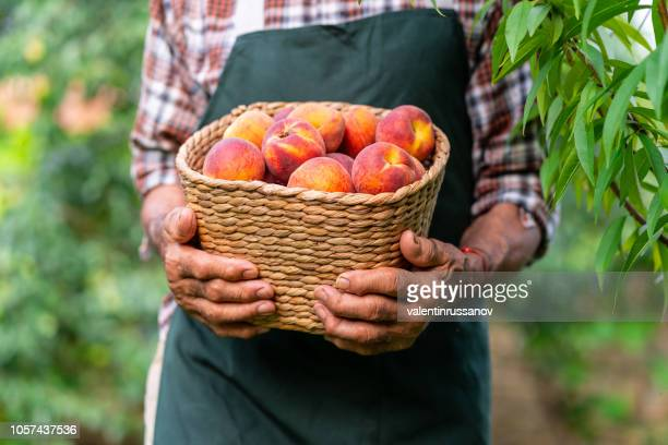 mature farmer holding basket with peaches - peach stock photos and pictures
