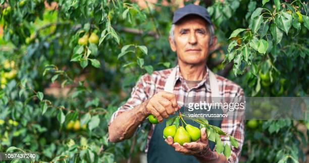 Mature farmer holding branch with pears focus on the pears