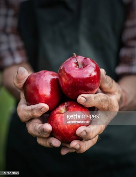 mature farmer holding red apples - farm worker stock pictures, royalty-free photos & images