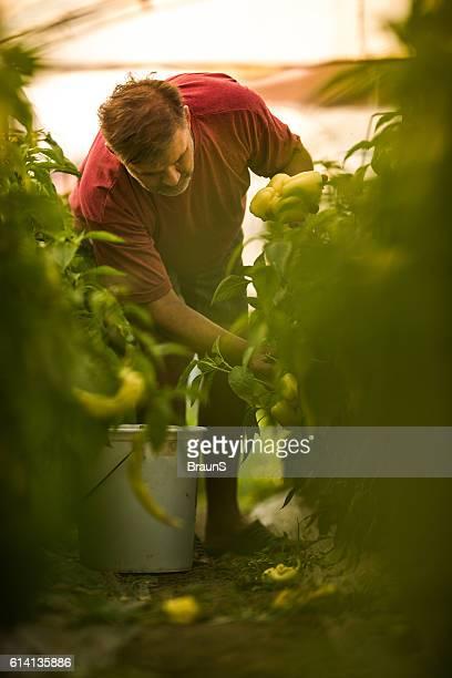 Mature farmer picking homegrown pepper in polyethylene tunnel.