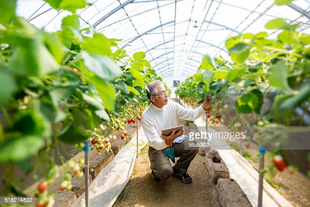 Mature farmer with a tablet computer in a greenhouse