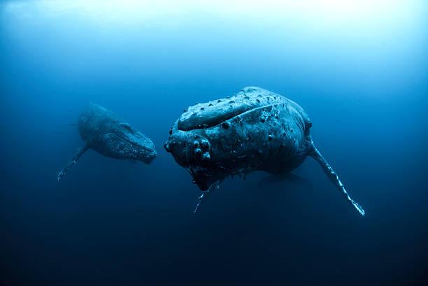 Mature Female And Young Male Escort Humpback Whales (megaptera Novaeangliae), Roca Partida, Revillagigedo, Mexico Wall Art