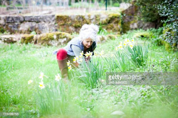 Mature female gardener tending daffodils in garden