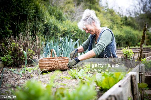mature female gardener tending lettuce on raised bed - flowerbed stock pictures, royalty-free photos & images