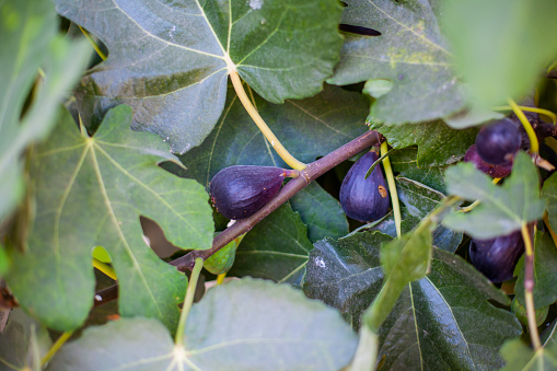 Mature figs on a fig tree.  Spain, Andalucia, Jaen - gettyimageskorea