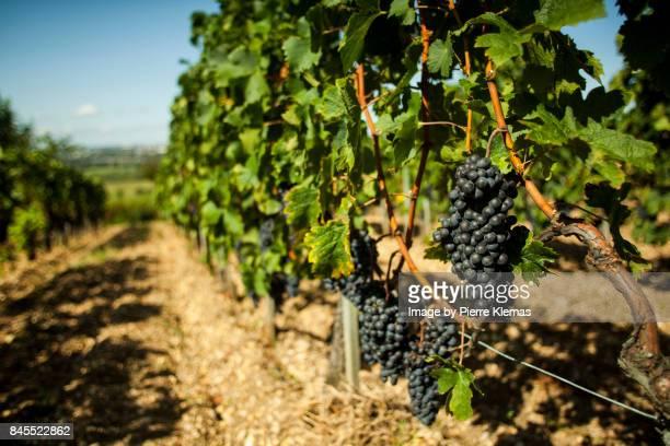 Mature French Vine