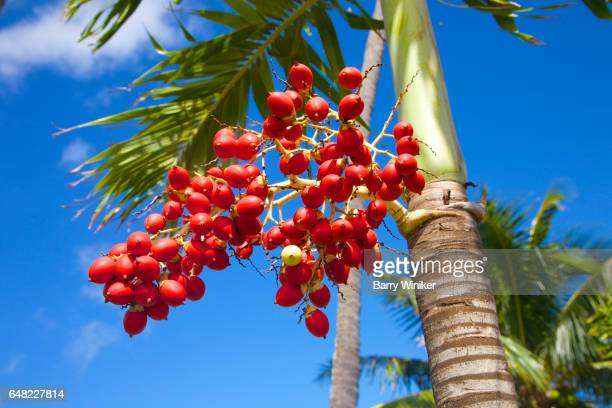 Mature fruit seed on palm tree in Hawaii